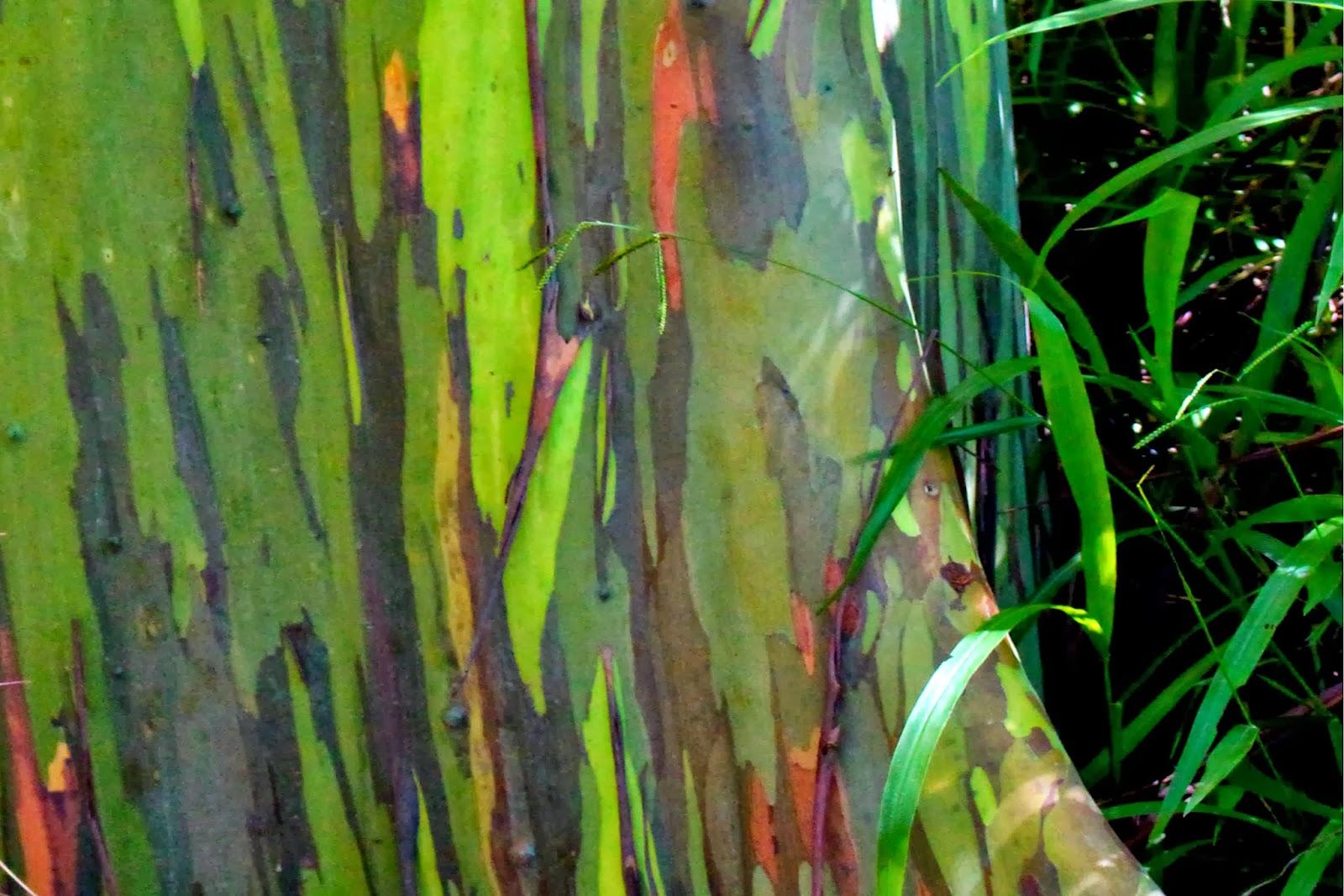 Maui Mondays: Rainbow Eucalyptus Trees | All Things with Purpose