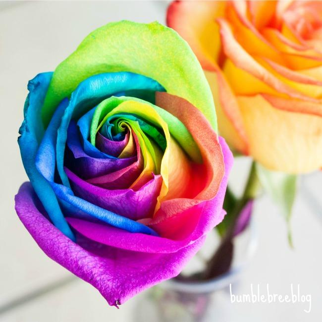 Rainbow Rose-1